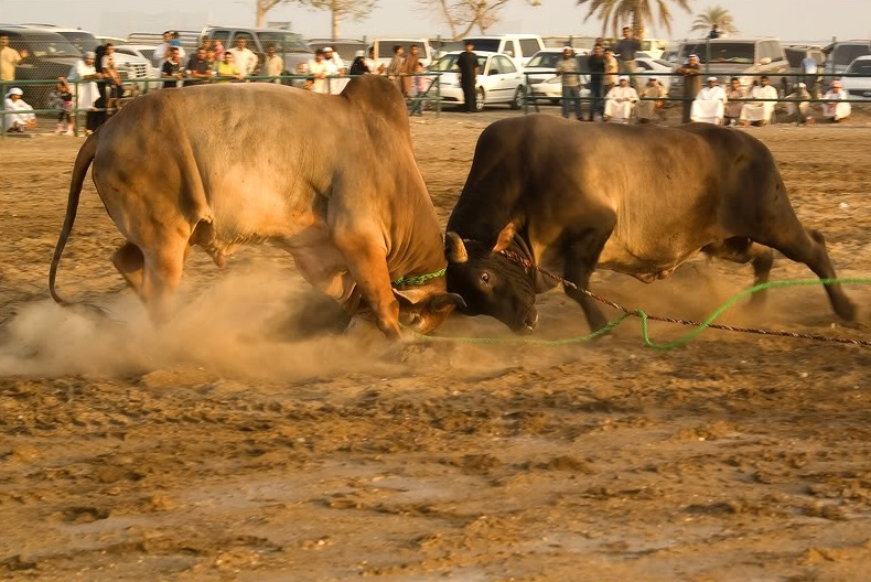 Бои быков. Фуджейра