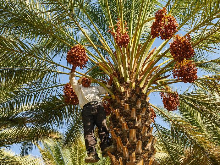 Финиковые плантации в Рас-аль-Хайме