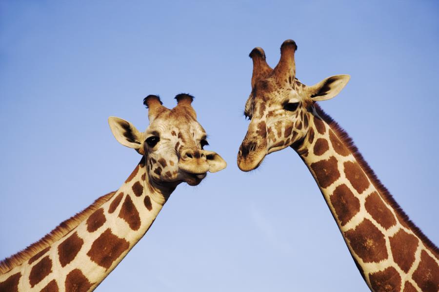Глаза в глаза с жирафом