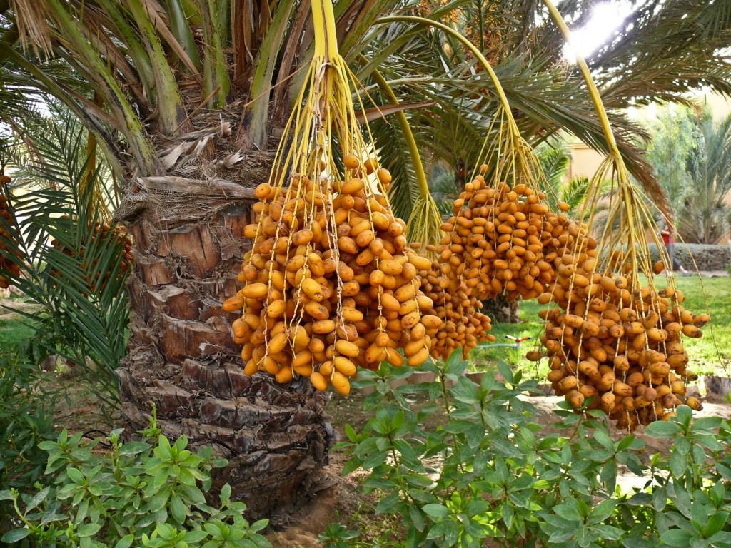 Плоды сада Фaлaж-aль-Муaлa в Умм – Aль – Кувейне