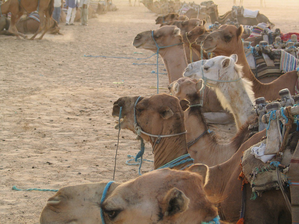 Верблюды эмирата