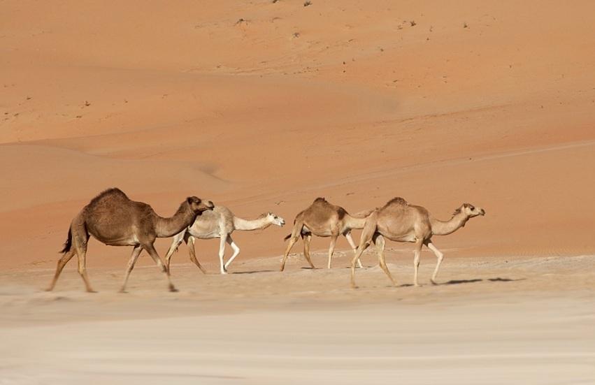 Верблюды оазиса Лива