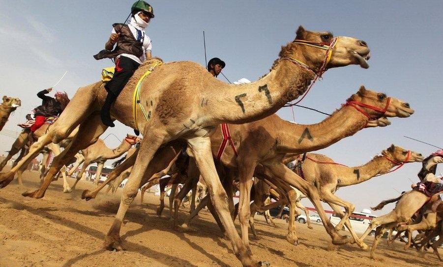 Верблюжьи бега в Рас-аль-Хайме