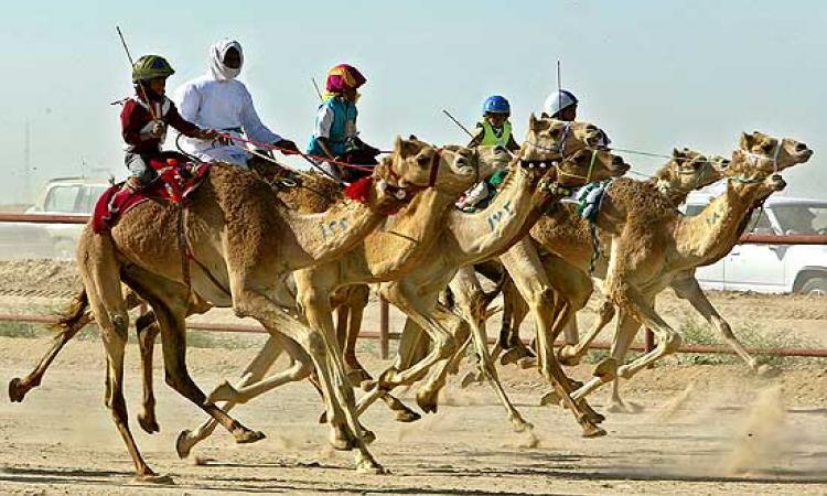 Верблюжьи бега в Умм-аль-Кувейне